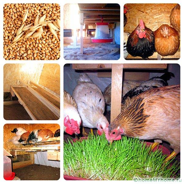 Условия на живот на пилетата
